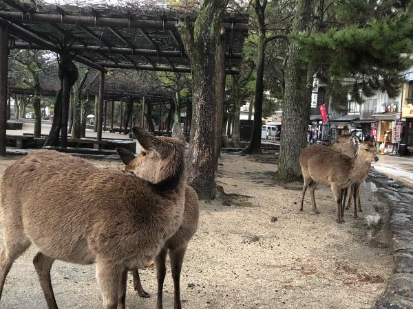 宮島にいる野生の鹿たち