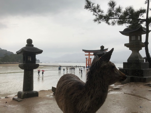 大鳥居の写真撮影を妨害する宮島の鹿